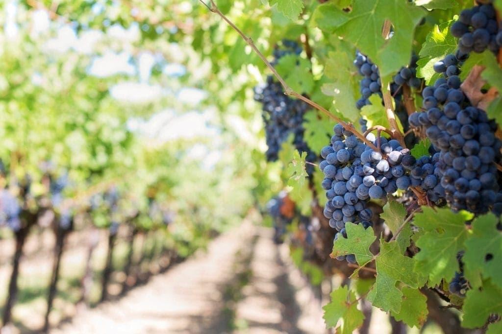vignes de raisin rouge