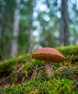 cèpe du québec en forêt