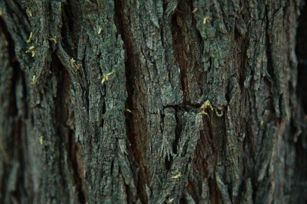 bois de mesquite