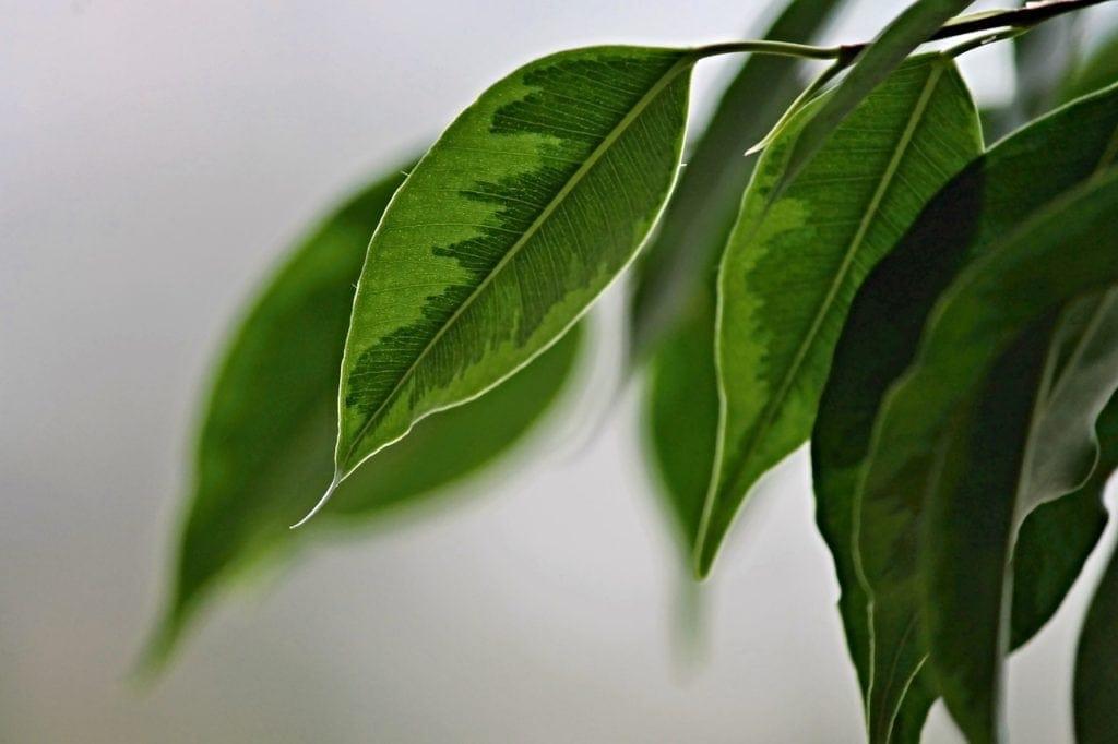 feuilles de ficus