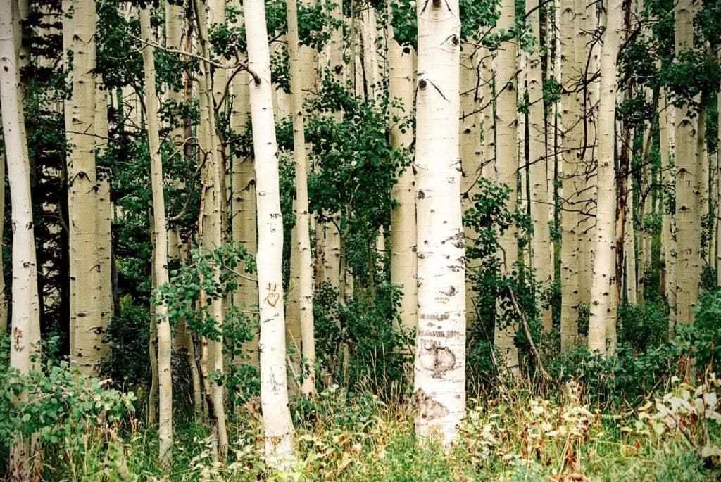 forêt de bouleau à chaga