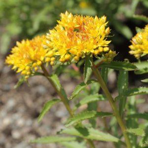 La rhodiole, un antistress naturel