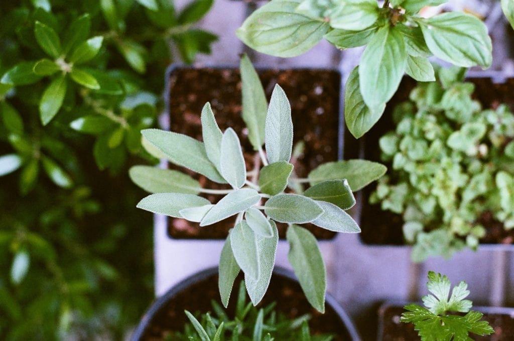 plante de sauge