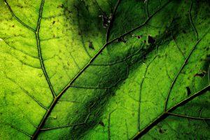 Pétasite une plante contre la migraine et le rhume des foins