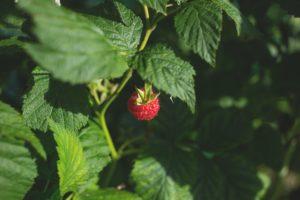Les bienfaits du thé de feuilles de framboisier